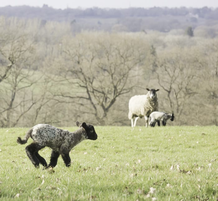 Baby lamb running in field