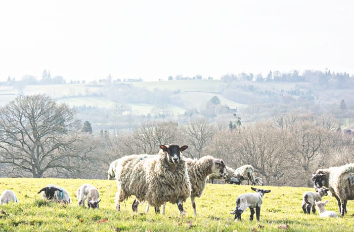 Ewes and baby lambs in field