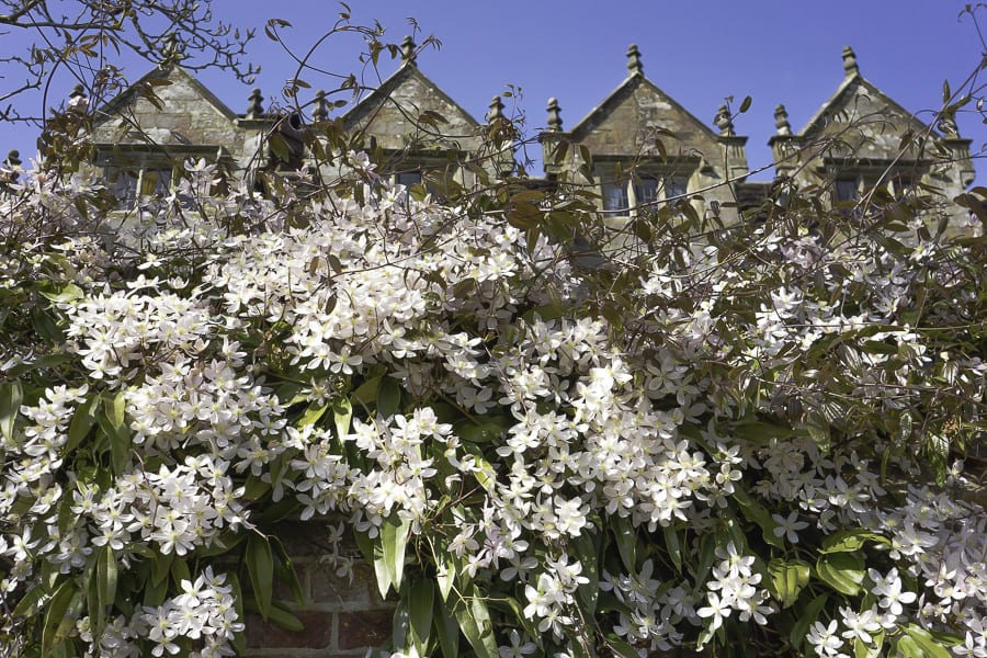 Wall blossoms and Gravetye Manor