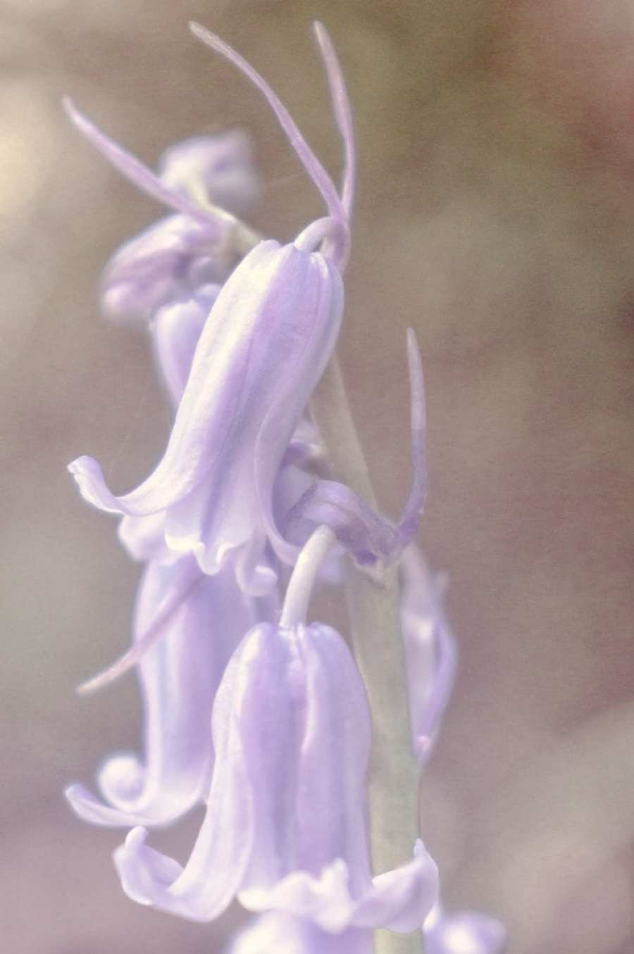 Bell shaped flowers on bluebells