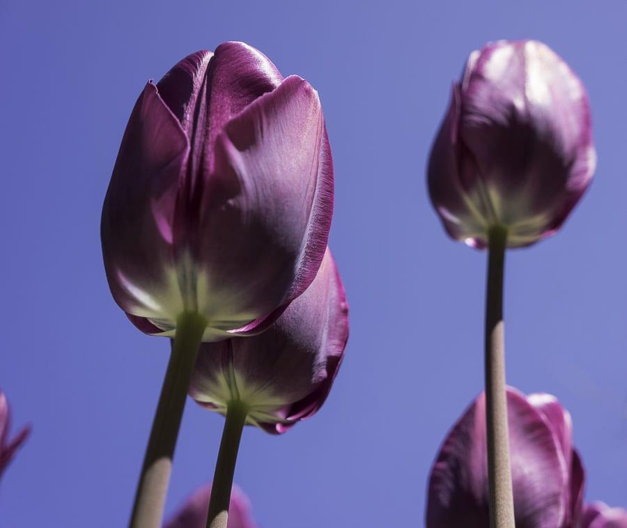 Purple tulips against sky