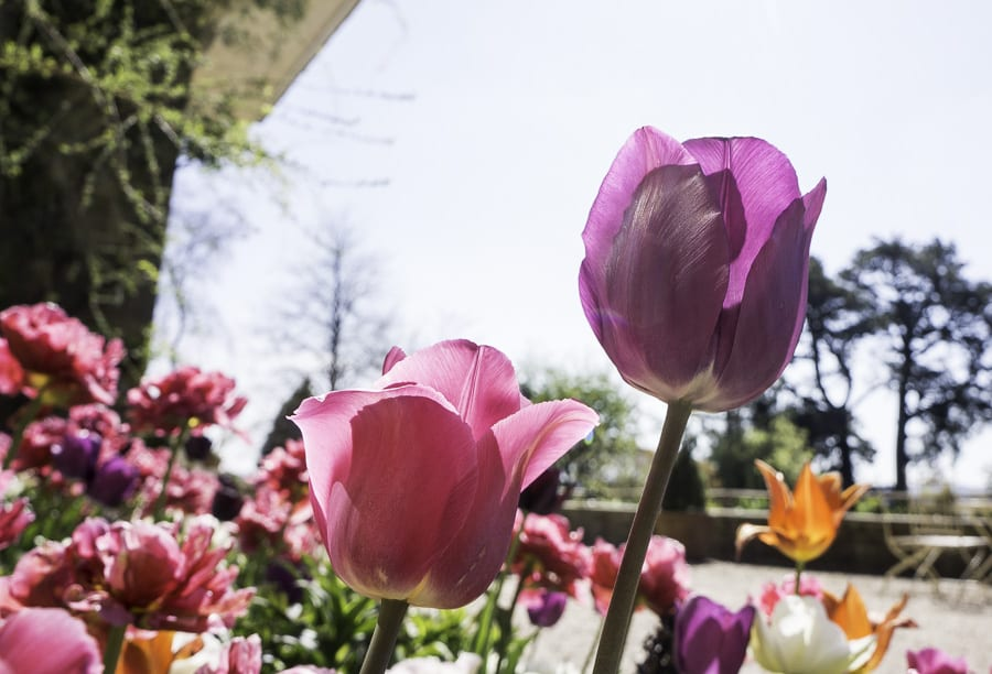 Pink and purple tulips at standen