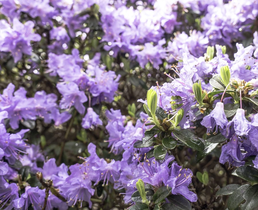 Purple rhododendron RHS Wisley