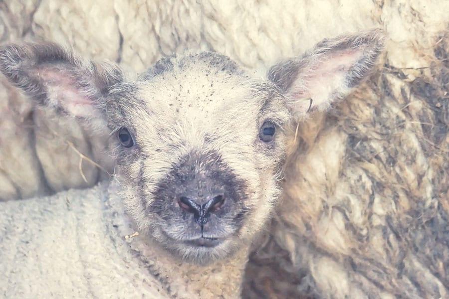 Baby lamb cuddled against ewe