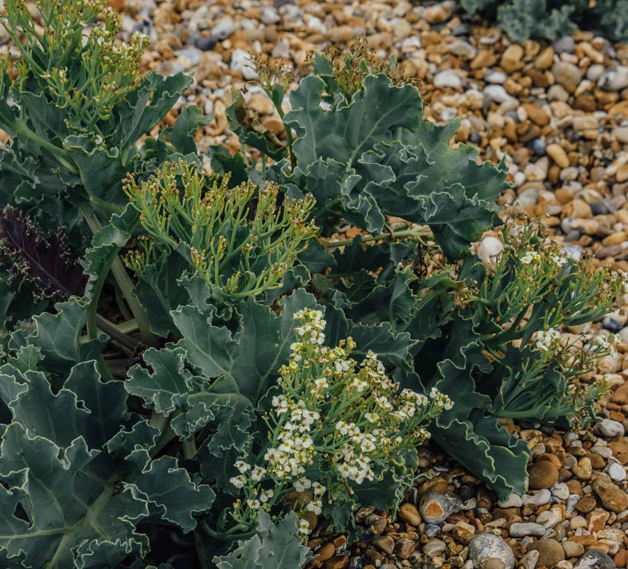 Dungeness flowers Sea Kale