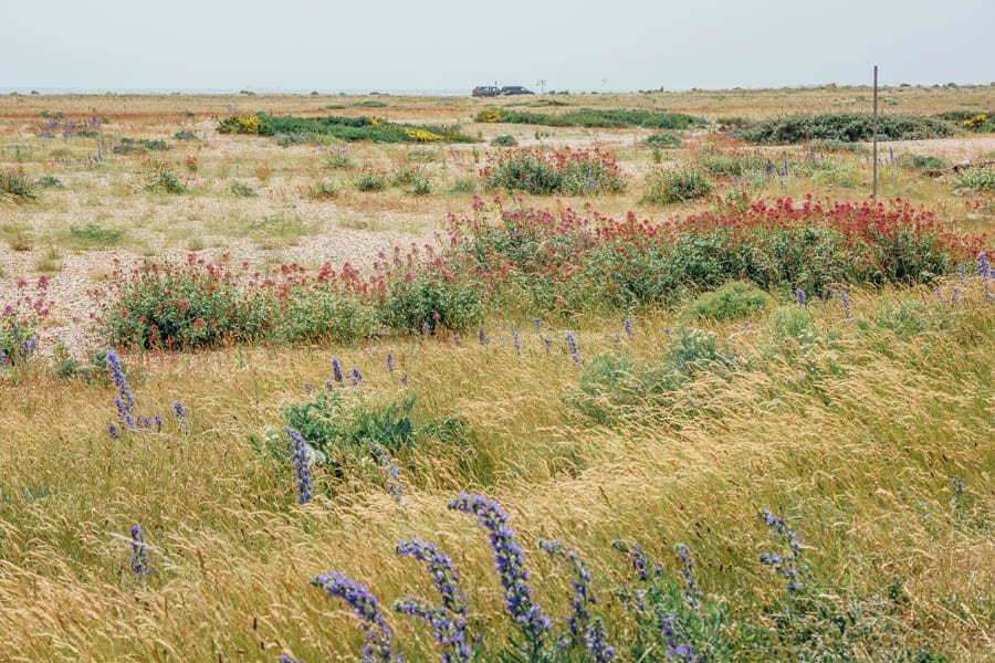Dungeness flower diverity on shingle beach