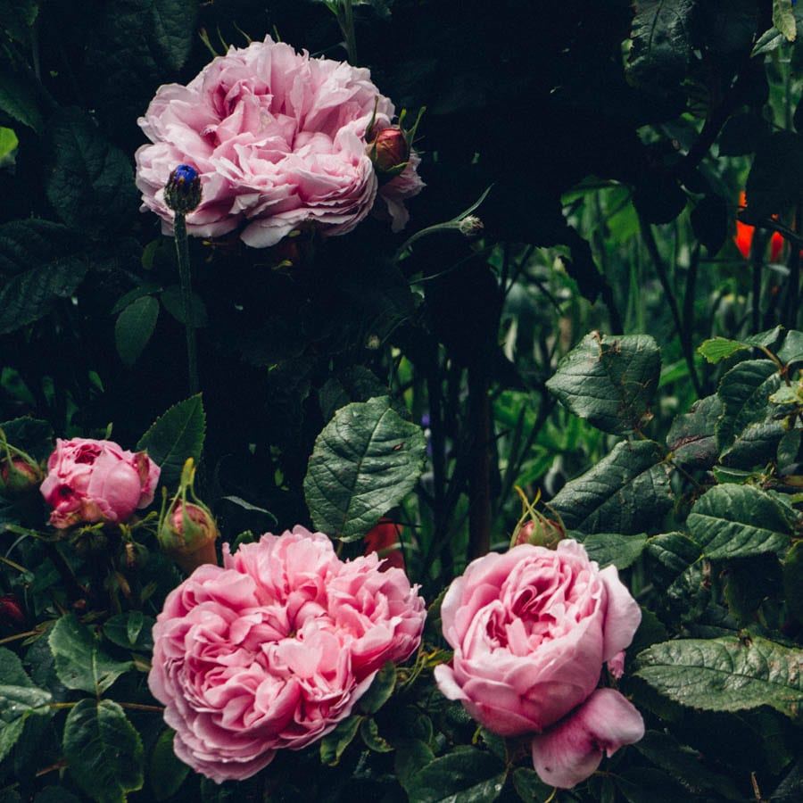 Gravetye Manor peony flower shrub