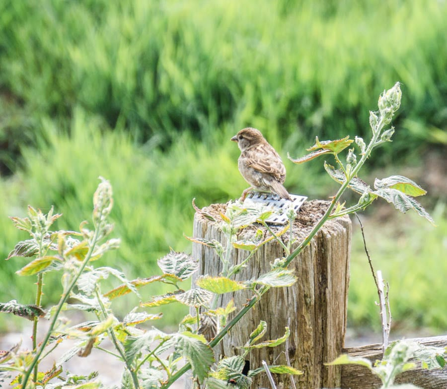 Sparrow watching on fence