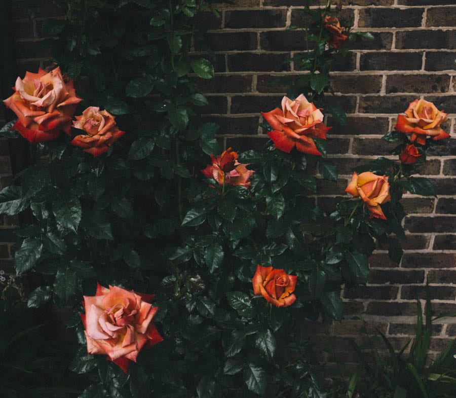 Orange red rose shrub in garden