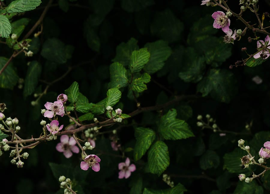 Pink bramble flowers in hedge