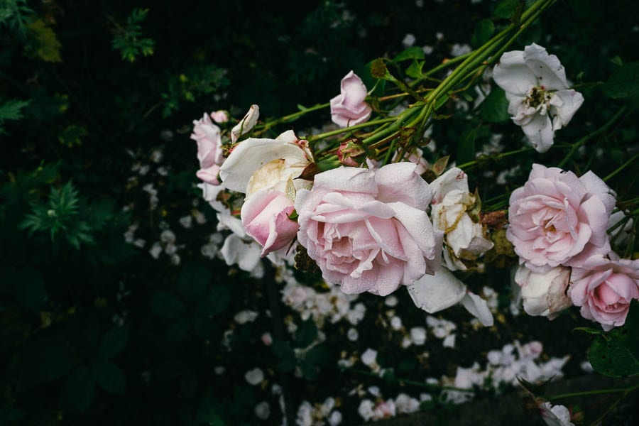 Pink roses and petals below