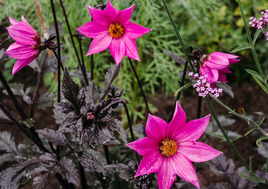 Pink star shaped flowers