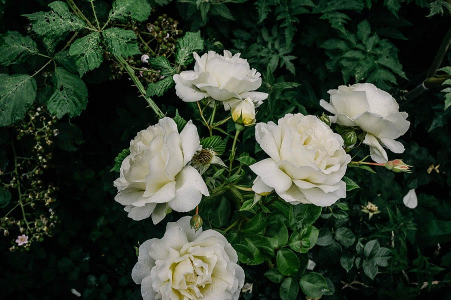 Roses and brambles in garden