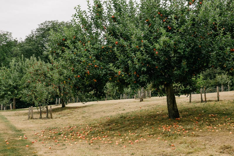 Apple trees and apples on ground