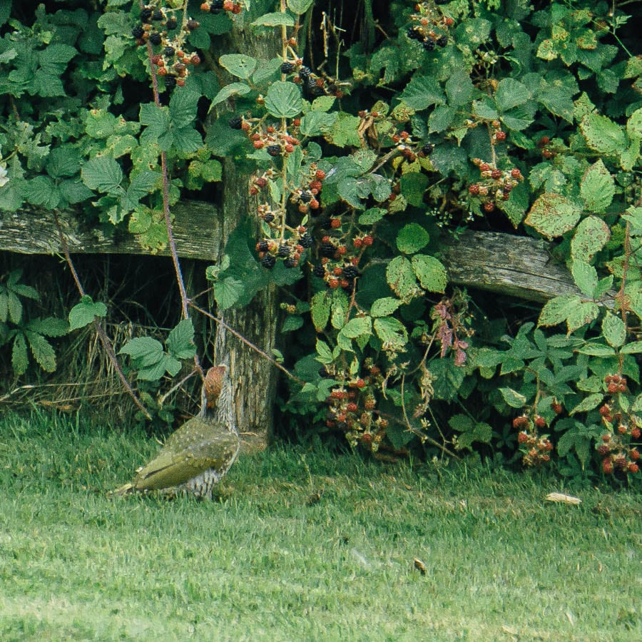 Juvenile green woodpecker looking at blackberries