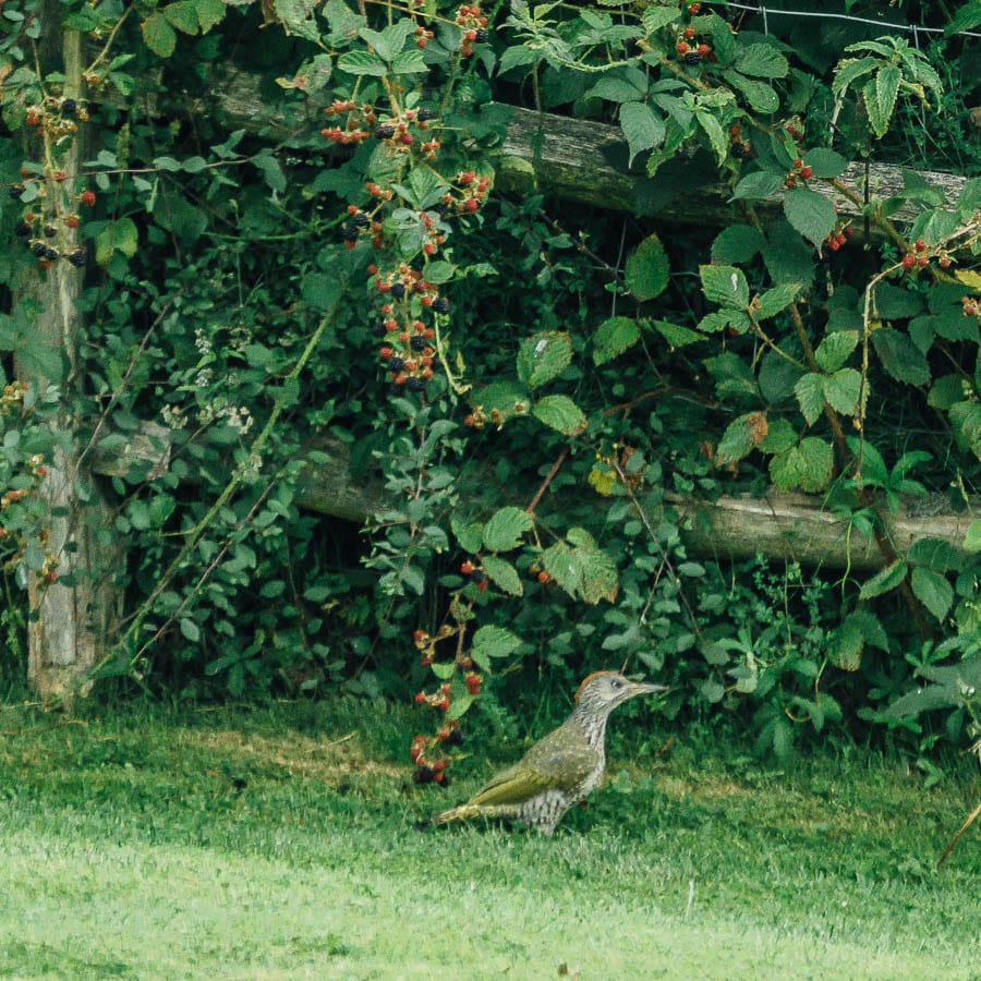 Juvenile green woodpecker next to fence