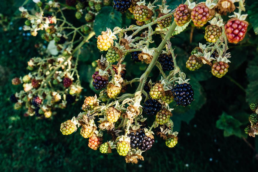Blackberries hanging in bunches