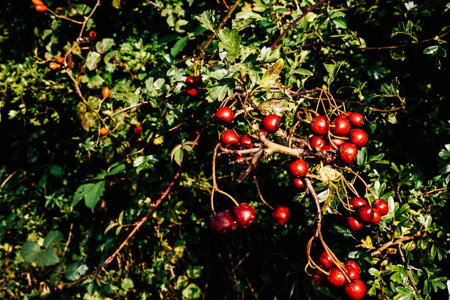 Hawthorn berries and rosehips