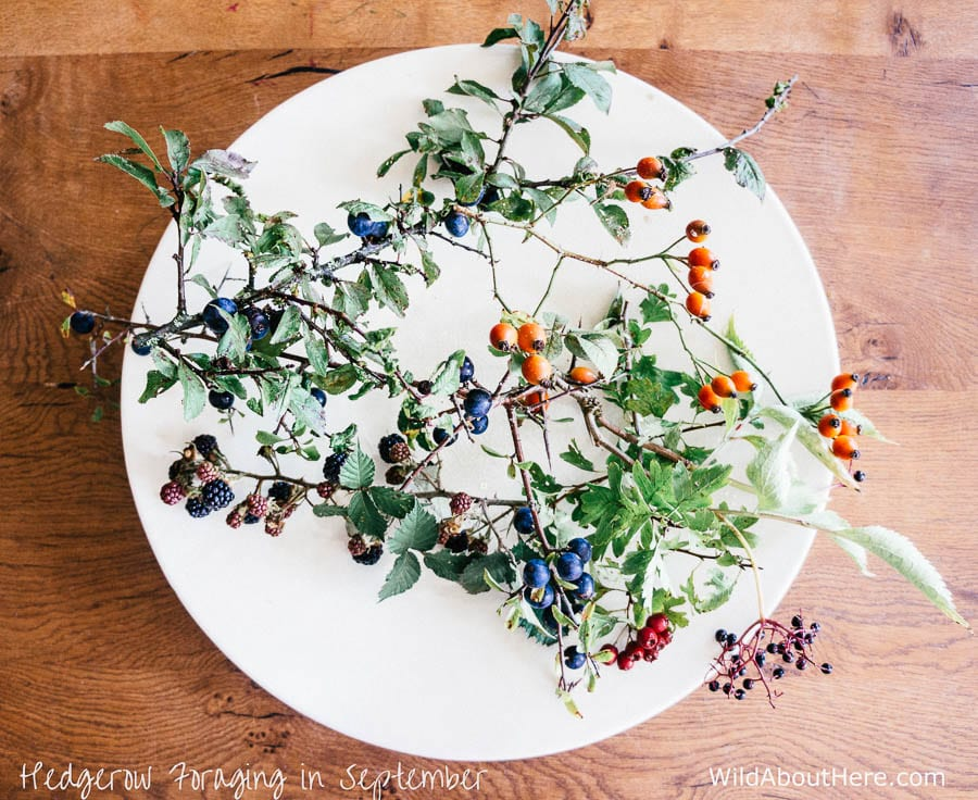 Hedgerow Foraging berries and more in September