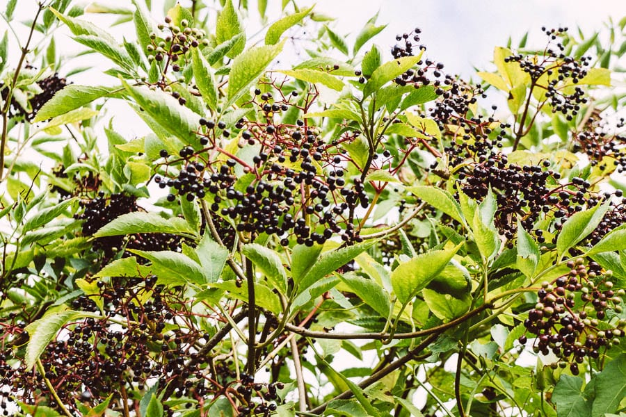 Hedgerow with elderberries
