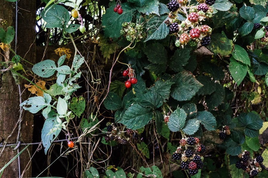 Poisonous woody nghtshade and blackberries in hedgerow