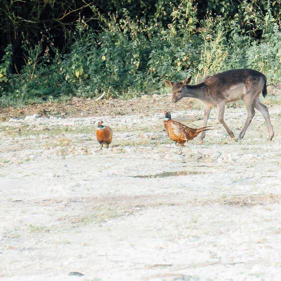 Young deer with two pheasants