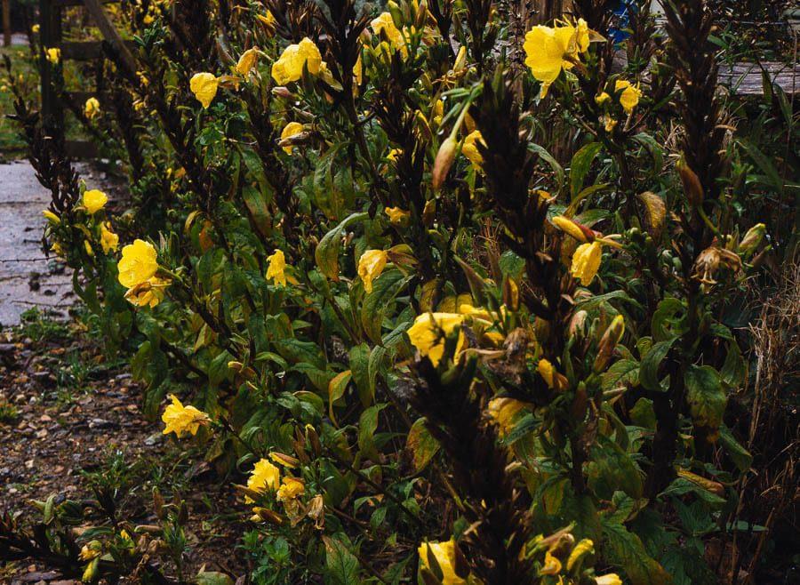 November Garden Evening Primrose