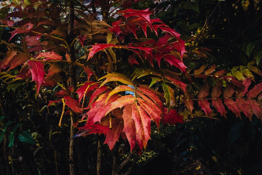 November Garden Mahonia x media red leaves