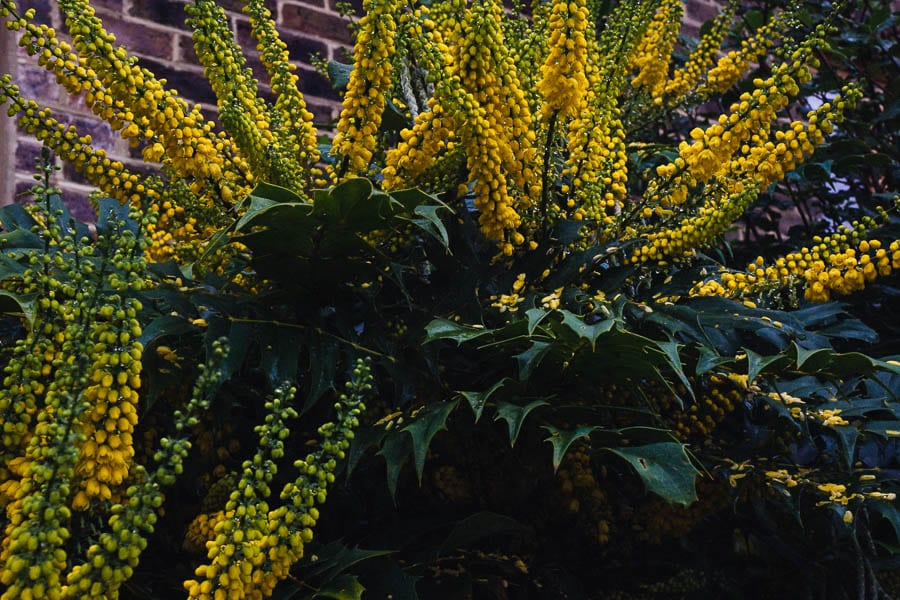 November Garden Mahonia x media yellow flowers