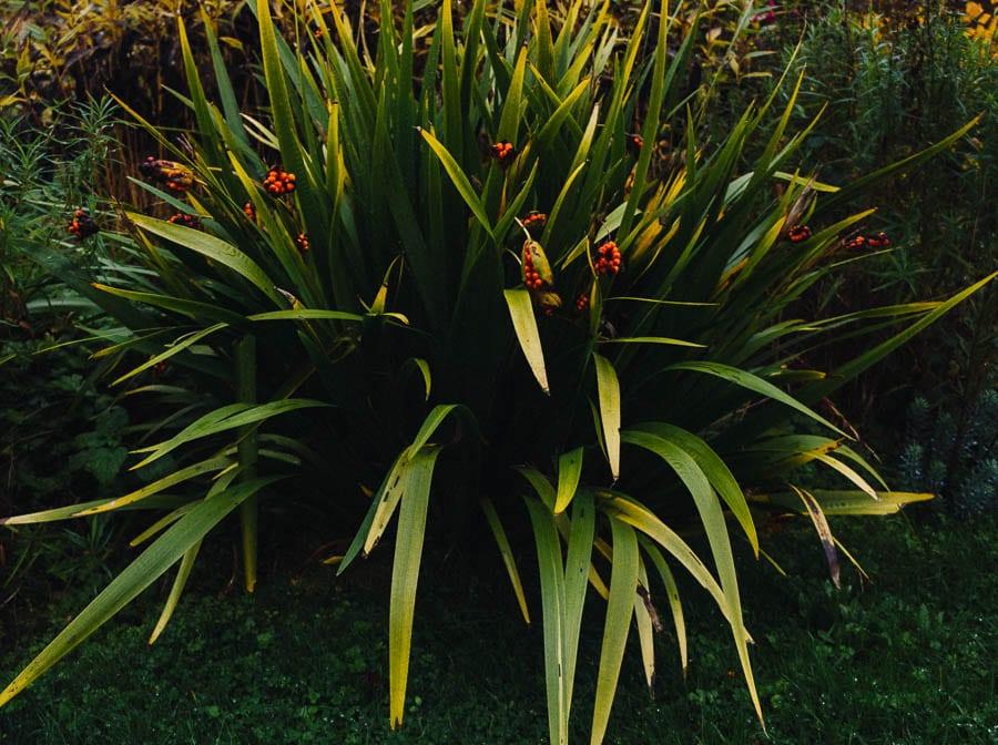 November Garden Stinking Iris