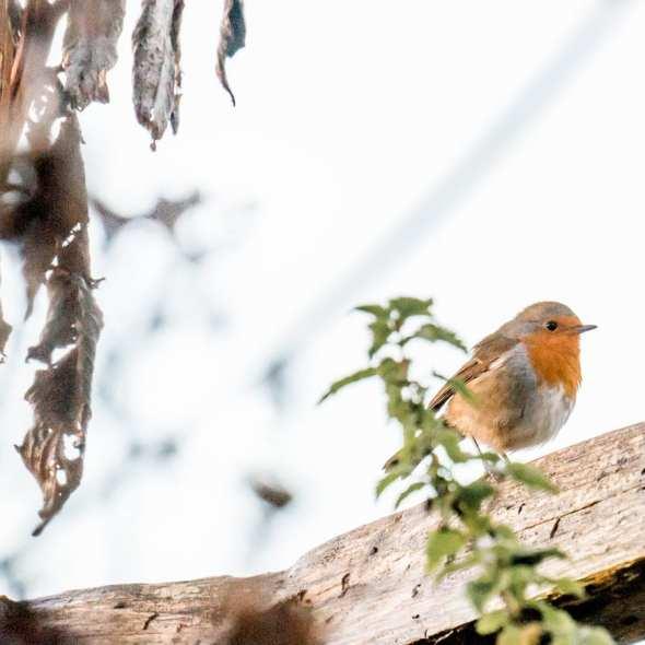 Winter Bird Feeding robin on fence