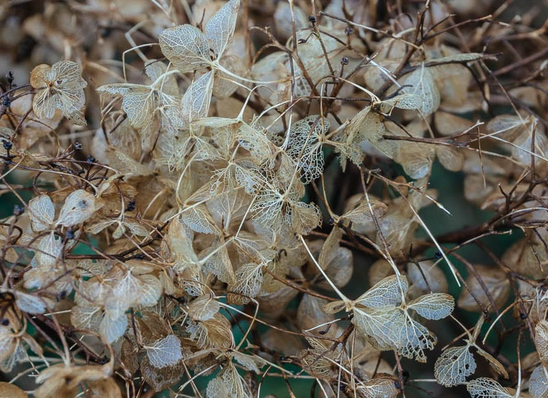 January garden brown hydrangeas skeleton leaves