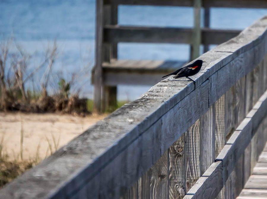 Kids bird watching redwinged blackbird