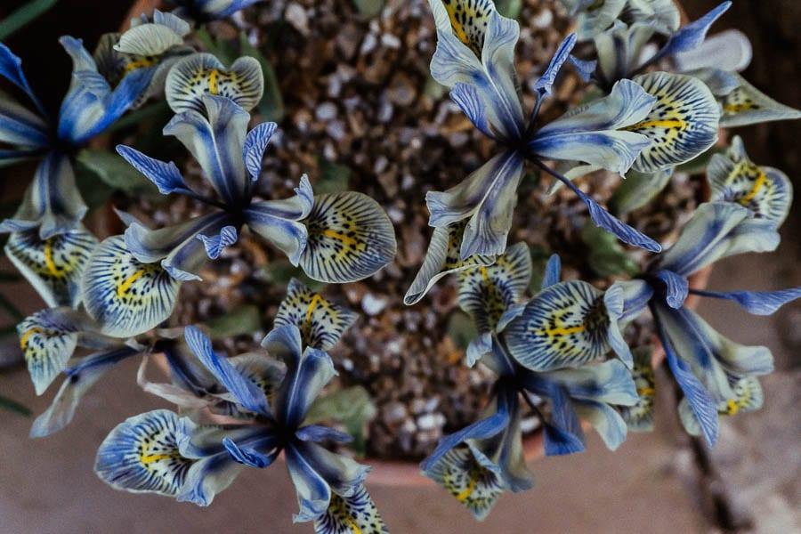 Gravetye February iris