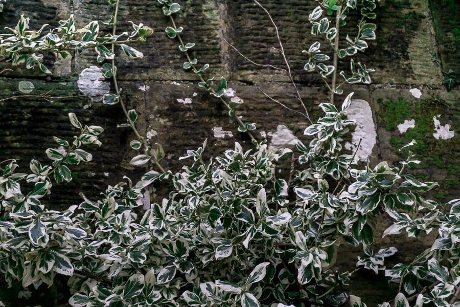 Gravetye February leaves and old wall