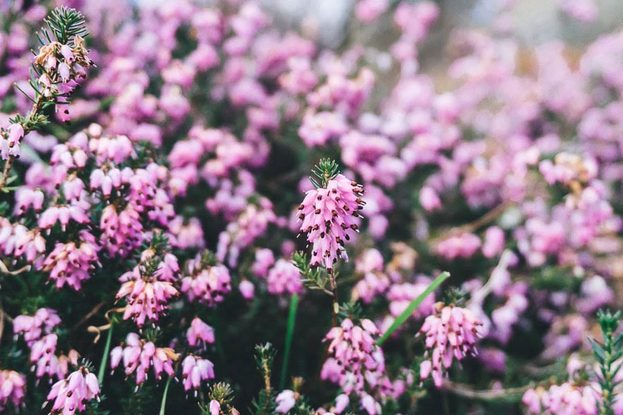 Gravetye February light pink heather