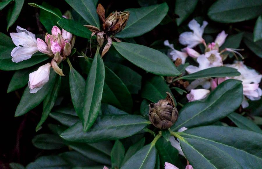 Gravetye February rhododendron