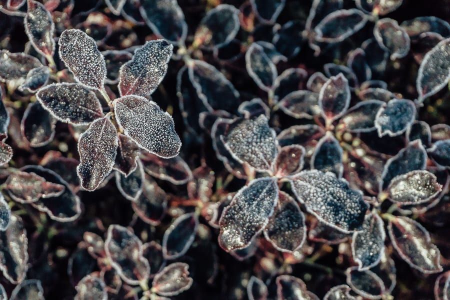 One frosty morning frost on plant
