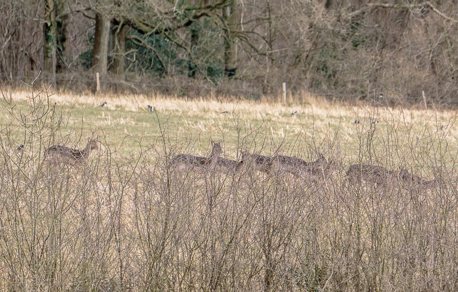 Herd of deer and magpie
