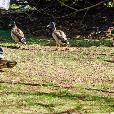 A National Trust outdoors Easter egg hunt…with ducks!