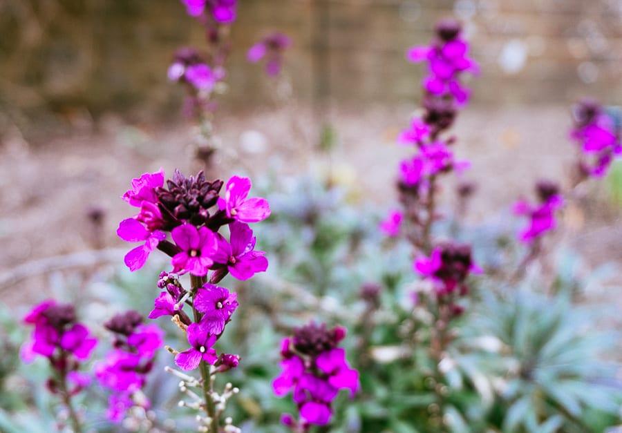 Wakehurst erysium in flower