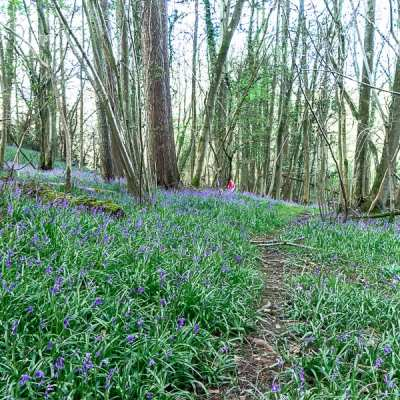 10 fun facts about bluebells to tell kids