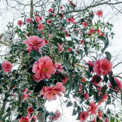 A burst of camellias
