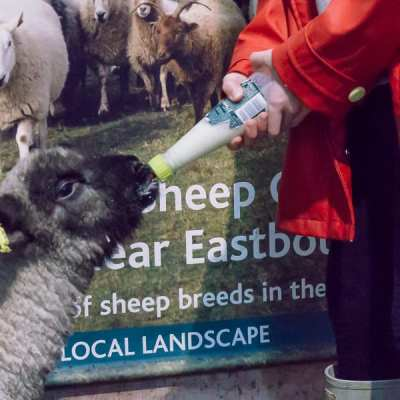 Bottle feed a baby lamb