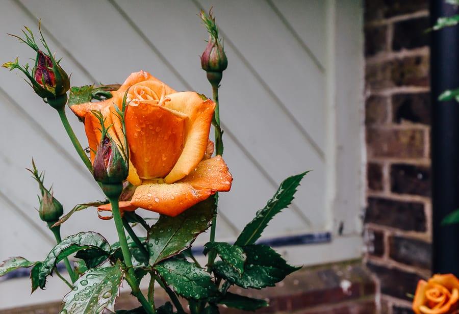 Blood orange rose in rain