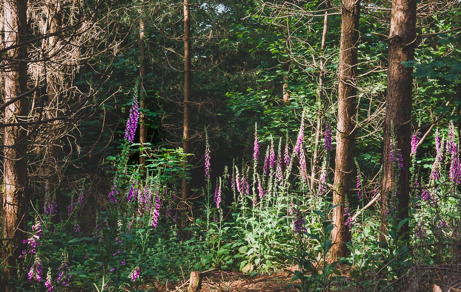 Cluster Foxgloves in woods