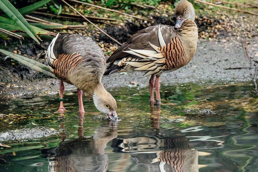 London Wetland Centre plumed whistling ducks
