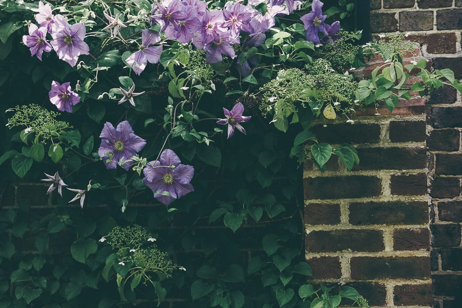 Nymans clematis wall