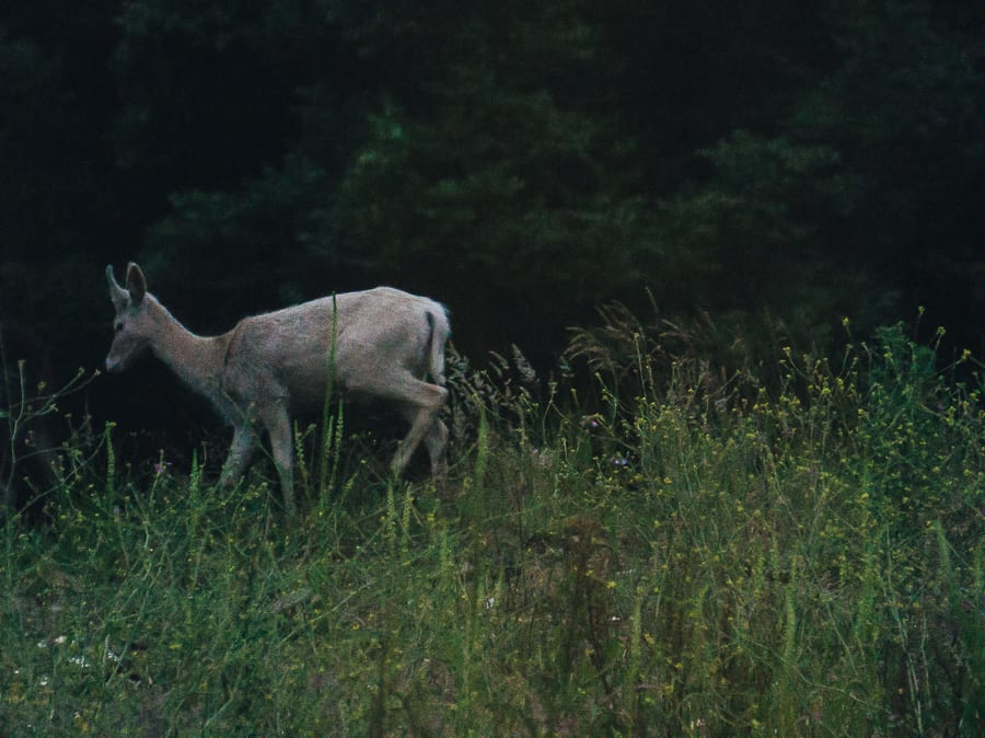 White deer dusk unicorn
