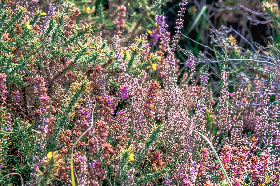 Flowering and fading heather